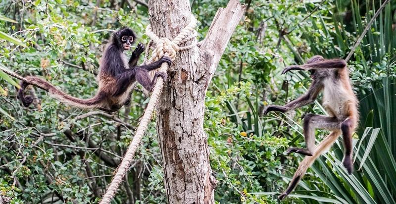 spider-monkeys